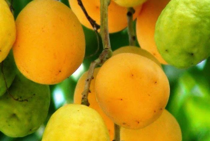 Revistagala frutas ex ticas con sabor a venezuela el impulso - Frutas tropicales y exoticas ...